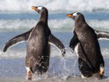 Penguins returning to the ocean - Quark Expeditions