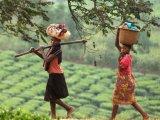 Tea Plantations in Uganda