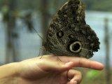Owl Moth at the Mashpi Life Center