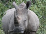 Rhino in Thornybush Reseve