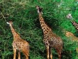 Giraffes in Ngorongoro Crater