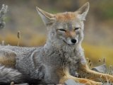 Chilla Fox, Torres del Paine (remota Lodge)
