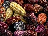 Peruvian Corn variety
