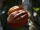 Cacao Tree in Thekkady, Kerala