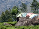 Drying cloths on hot rocks.. in a typical Kerala Tea Plantations
