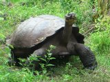 Giant Tortoise in the wild