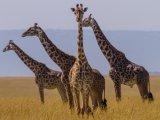 Giraffes in Massai Mara Reseve