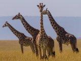 Safari in Maasai Maraa