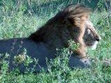 Lions on Kenya