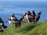 Puffins in Mykines Island - Faroe Islands