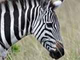 Zebra in Masai