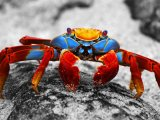 Sally Light Crab