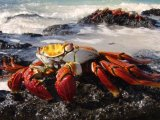 Sally Lightfoot Galapagos Crab (Metropolitan Touring)