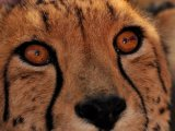Cheetah at the Camp Jabulani