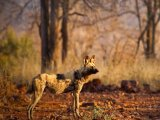 African Wild Dog at Madikwe Game Reserve