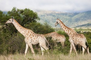 Cape Peninsula and the Big Five Safari